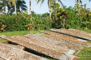 Kava Root Drying Fiji